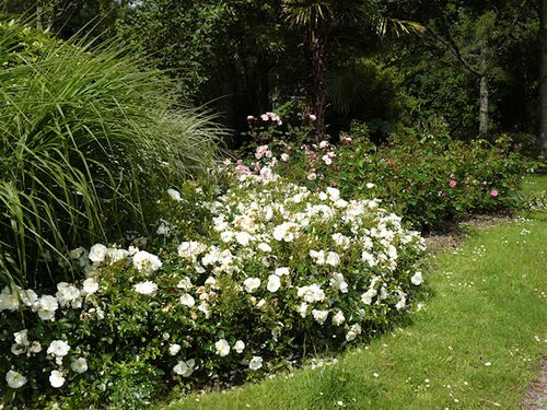 600-roses-blanches.jpg