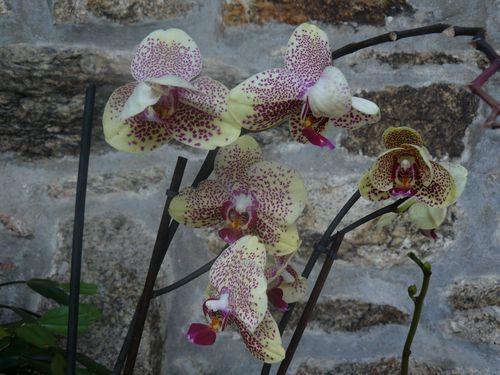 orchidee-janvier-2013-002.JPG
