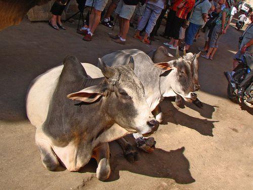 26425-JAISALMER-Vaches-dans-la-rue.jpg