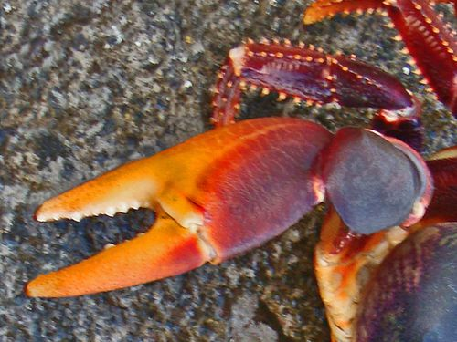 0045 PINCE Crabe Touloulou