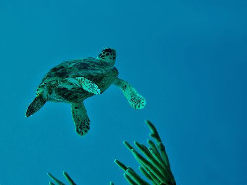 4013-Tortue-vers-la-surface.jpg