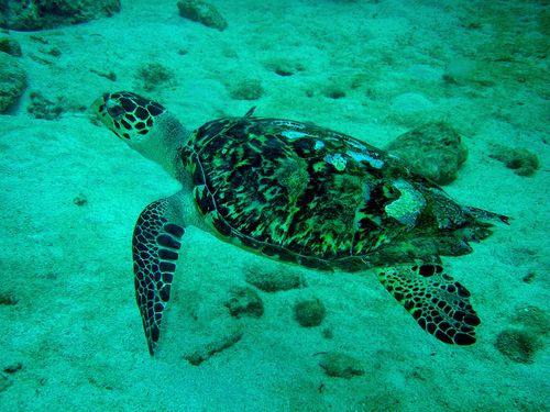 3449-Tortue-imbriquee-GUADELOUPE.jpg
