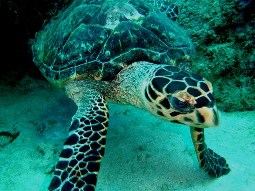 6781-TORTUE-IMBRIQUEE-.jpg