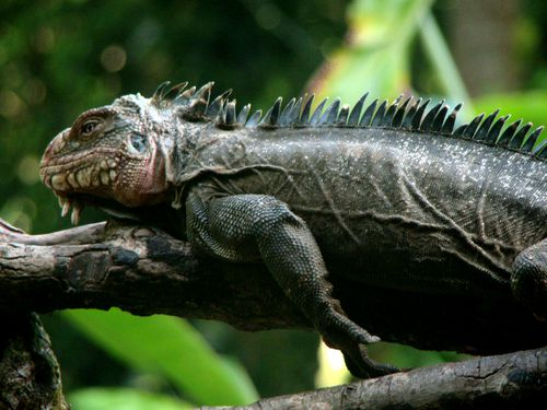 0131-Iguane-PETITE-TERRE.jpg