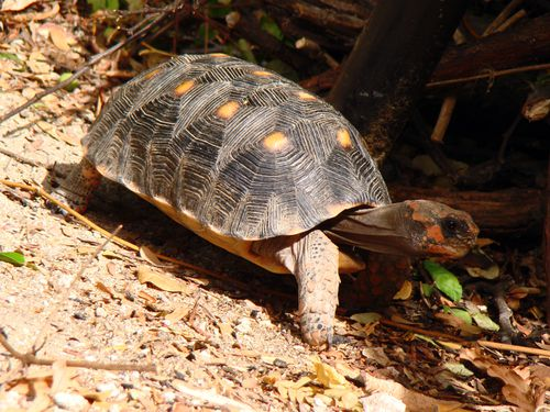 21938-Tortue-SAINT-BARTH.jpg