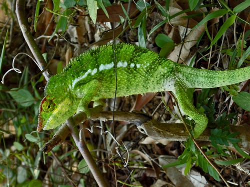 3277-Cameleon-panthere.jpg