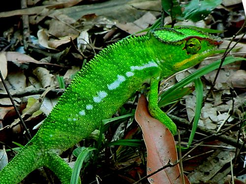 3302-Cameleon-panthere.jpg