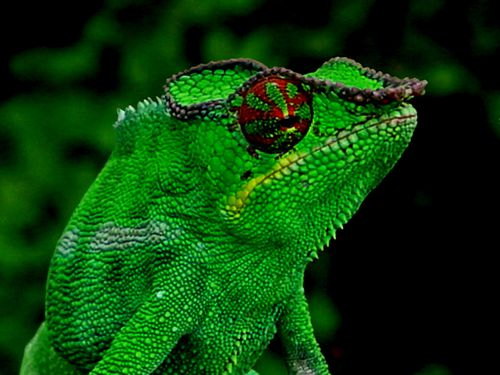 3303-NOSY-BE-Cameleon-panthere.jpg