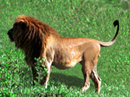 0555 LION Amboseli
