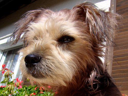2350-Petit-chien-GOLIATH.jpg