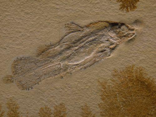 0078-Coelacanthe-fossilise.jpg