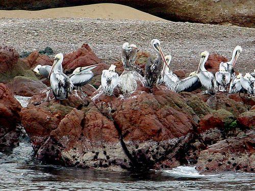 0028-Pelicans-PEROU.jpg