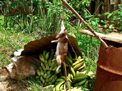 0607-0614-KANGOO-Gibier-Bananes.jpg