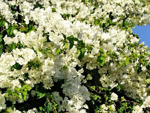0119-Bougainvillees-blanches.jpg