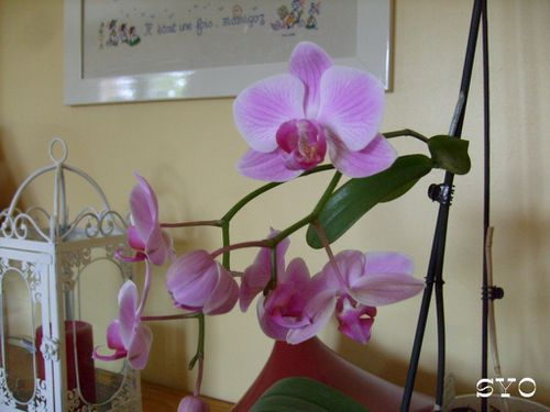 new-orchidee-aout-2010-Mamigoz--3-.JPG