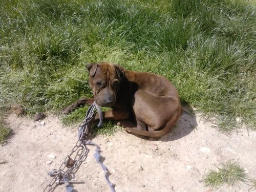 halimi-sharpei-adoption-M2.jpg