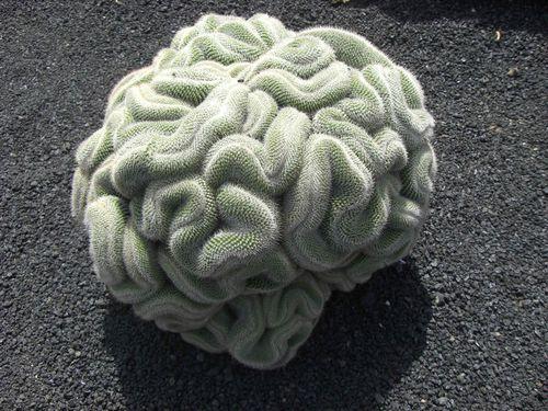 cactus-en-forme-de-cerveau.jpg