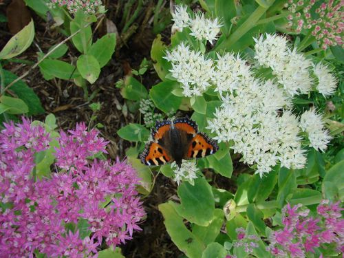 Une plante aux papillons bretagnevivante quimperle - Plantes pour papillons ...