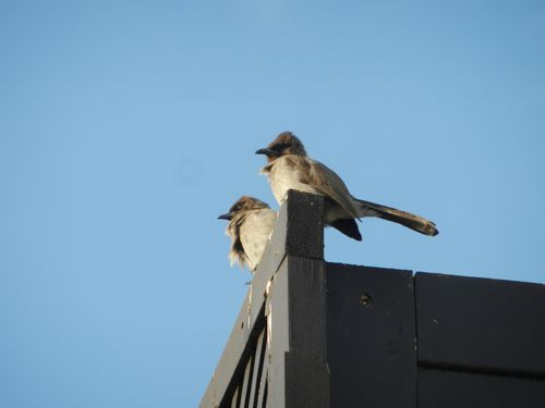Couple de Bulbuls