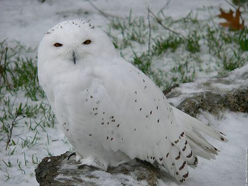 harfang des neiges 2