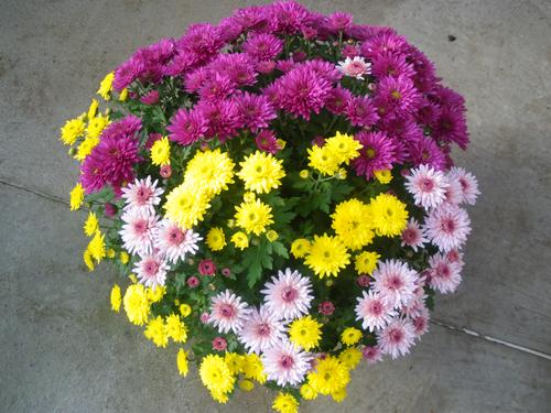 chrysanteme-multi2