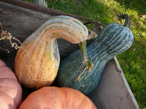 pumpkins 5