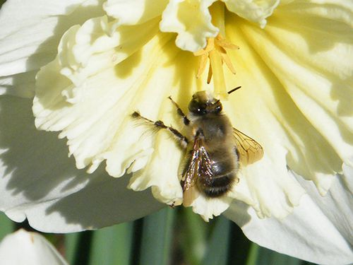 hymeno-anthophora-plumipes-05.03.JPG