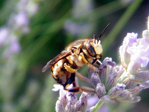 anthidie-florentinum.JPG