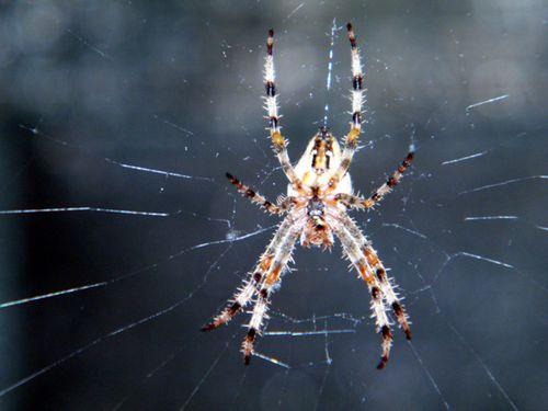 araignée epeire diadème