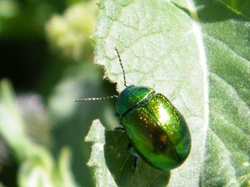 chrysolina-herbacea-2