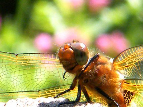 libellula fulva femelle portrait 4