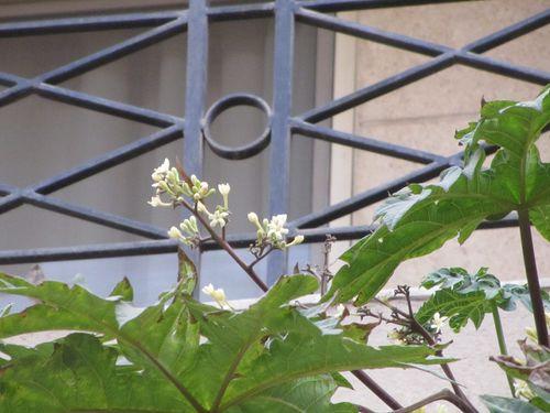 Papaye fleurs