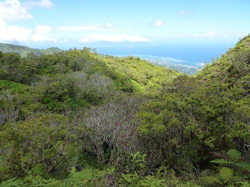 Tahiti-Fare Mato-13 dec 2013-vallon miconia défolié