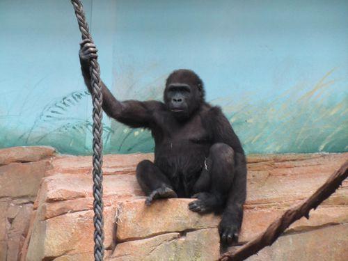 les-gorilles 3752