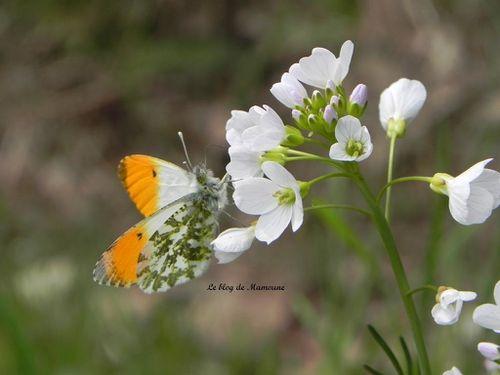 Papillon.2jpg