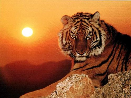animal tigre de chine meridionale