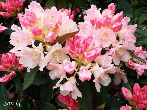 Rhodo-rose.jpg