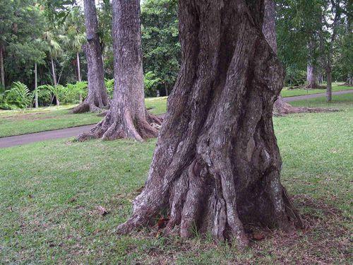 015 Botanic garden Seewoosagur Ramgoolam C