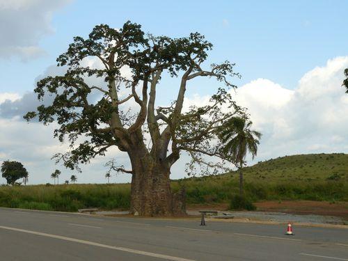 mayombe-baobab-dolisie-2012