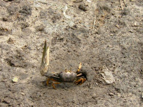 P-crabe-violoniste