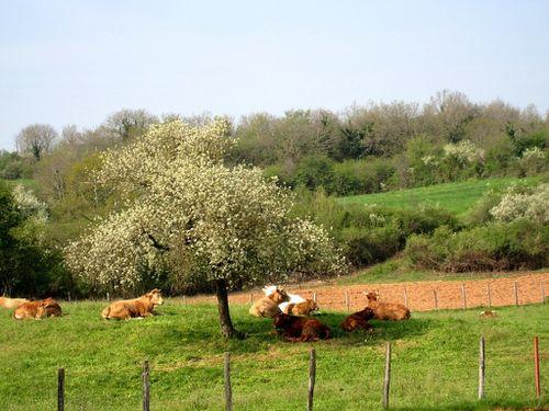Vaches-au-repos--Resolution-de-l-ecran-.jpg