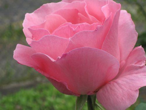 Rose Eins