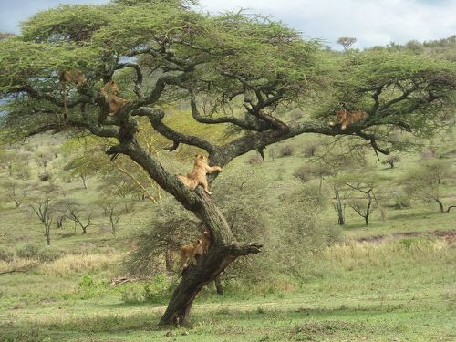 arbre-a-lions.JPG