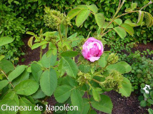 Rosa centifolia 'Cristata'
