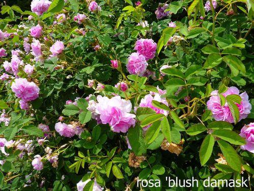 Roses Daniel Schmitz juin 2010 007