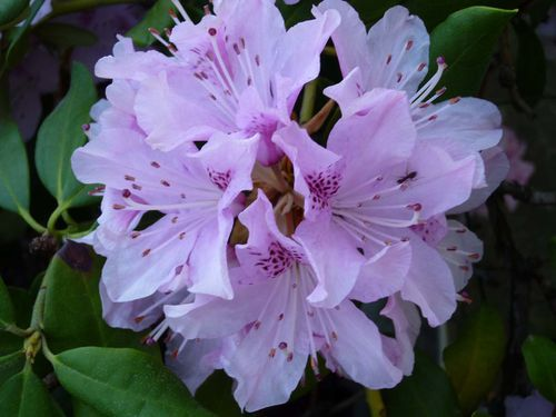 rhododendron a
