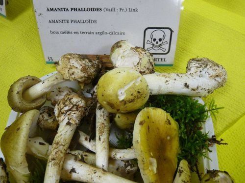 3-Amanita-phalloides--expo-Annecy-2012-mise-en-place--2-.jpg