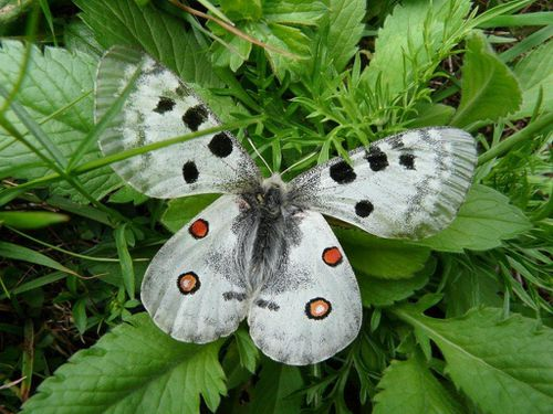 Parnassius-apollo-male.jpg