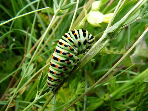 1-Machaon-chenille-qui-s-attache--20-06-12.JPG