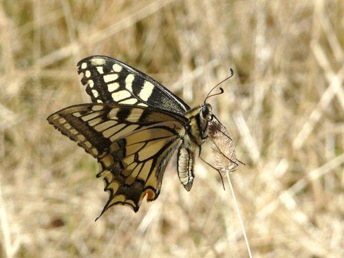 Papilio-machaon.jpg